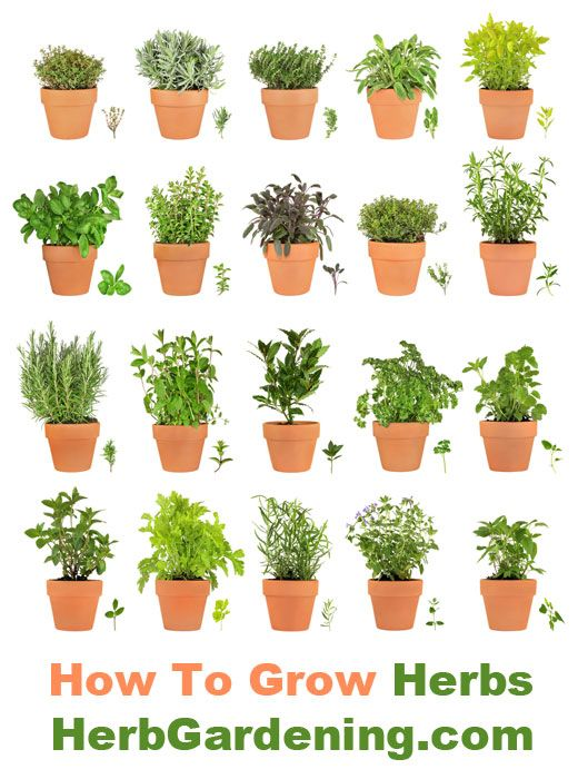 Herbs in containers are easy to grow.