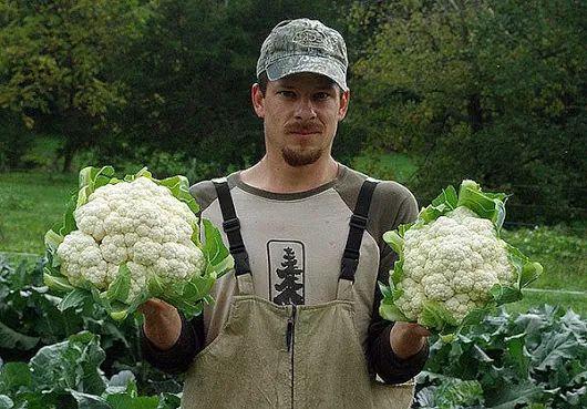Как же правильно выращивать цветную капусту? | Дачники