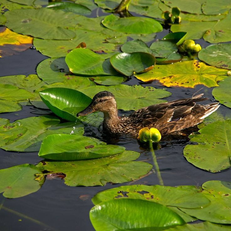 #autohash #Russia #Moscow #pool #lake #water #nature #leaf #bird #swamp #environment #wild #aquatic #park #lotus #river #wildlife #reflection #outdoors #lily #flora #swimming #marsh #nikond80 http://misstagram.com/ipost/1565035126919183371/?code=BW4HyfxBrwL