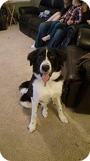 Elmira, CA - Border Collie/Great Pyrenees Mix. Meet Fancy, a dog for adoption. http://www.adoptapet.com/pet/18253260-elmira-california-border-collie-mix