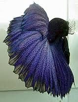 betta fish -amazing!