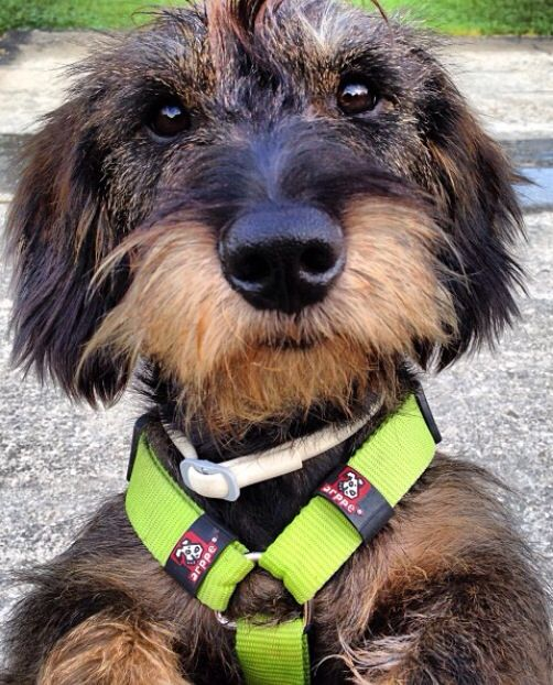 Dog Breed That Looks Like A Rug: Best 25+ Wire Haired Dachshund Ideas On Pinterest