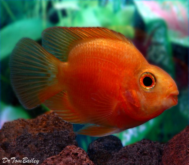 1000 images about aquarium fish on pinterest auction for Cichlid fish for sale