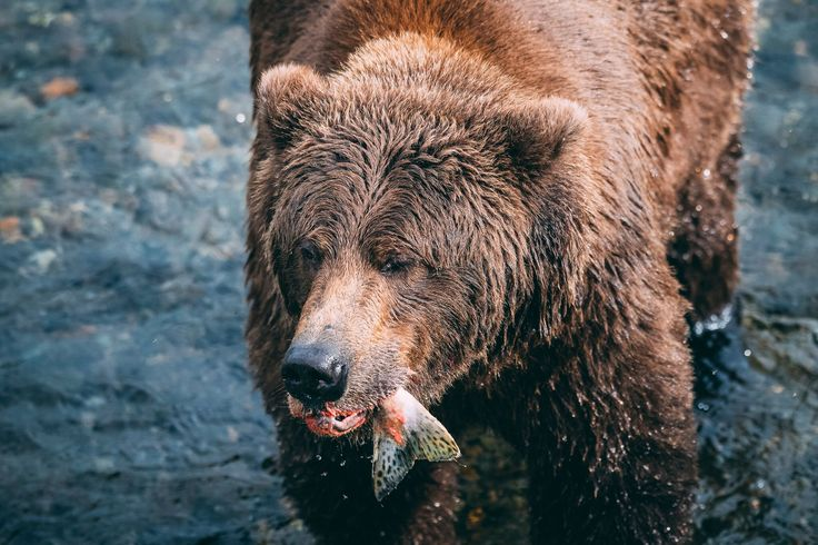 Lunch time! Grizzly bear fishing for salmon, Brooks falls, Alaska. Photo by Kirstin Scholtz