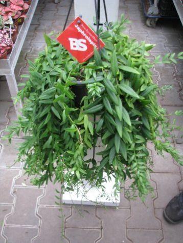 Aeschynanthus japhrolepis - eschynantus