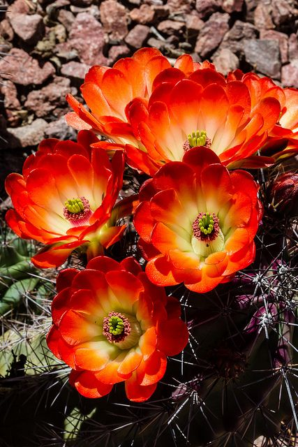 Hedgehog Cactus flowers, my tattoo flower.... Means enduring hard times