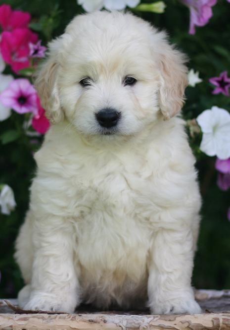 ysopmie: miniature goldendoodle puppies for sale