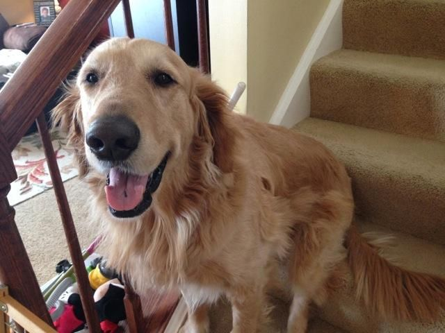 This is Dunkin - 7 yrs. He is neutered, current on vaccinations, potty trained and good with dogs. He is good with kids but would do best in an adult only home. He has good energy. Finally Home Holistic Recovery and Adoption, South Elgin, IL.-  https://www.petfinder.com/petdetail/29592420/