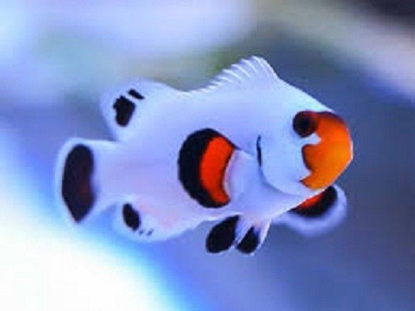X1 Snowflake Wyoming Clown Fish Tank Raised Amphiprion Oc