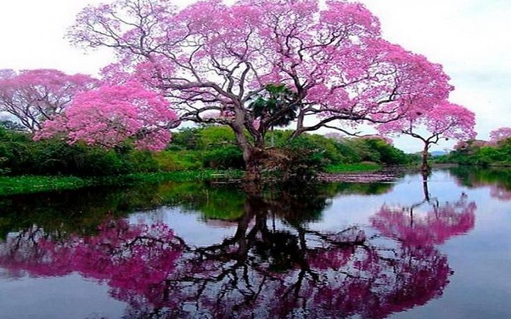 pink spring trees wallpaper - photo #30