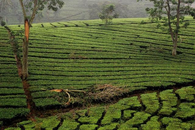 Bandung, tea fields