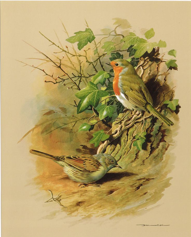 The Dunnock Amp The Robin Vintage 1965 Bird Print By Basil