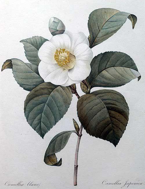 White Japanese camellia - gumpaste flower for cake