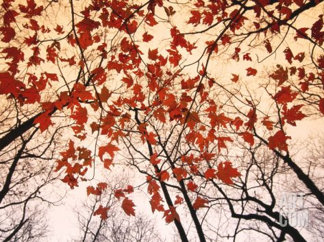 Bedroom -- Red Maple and Autumn Sky Art Print by Raymond Gehman at Art.com