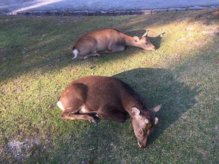 2 deers taking power nap after heavy tea snack at Nara Park, Japan