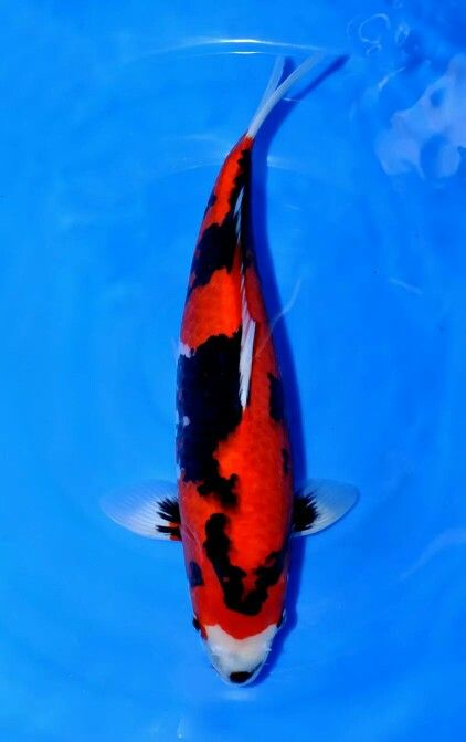 1000 images about koi fish showa on pinterest circles for Grand champion koi for sale