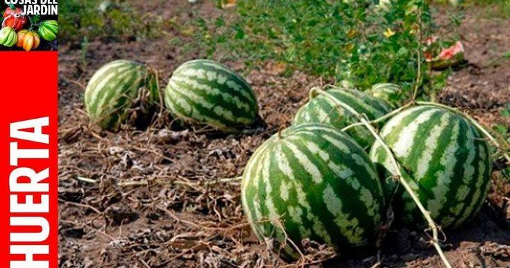 Cómo plantar una semilla de sandía y cuidados a aplicar después