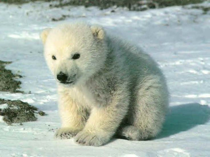 Top 73 best Ours images on Pinterest | Beautiful, Polar bears and Bear  FW69