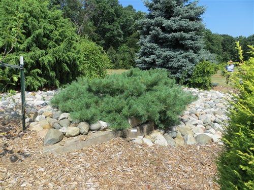 Pinus Sylvestris Hillside Creeper Hillside Creeper