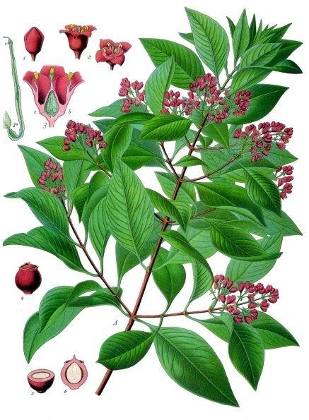 Sandalwood: Santalum album - illustration from Köhler's Medicinal Plants, 1897.