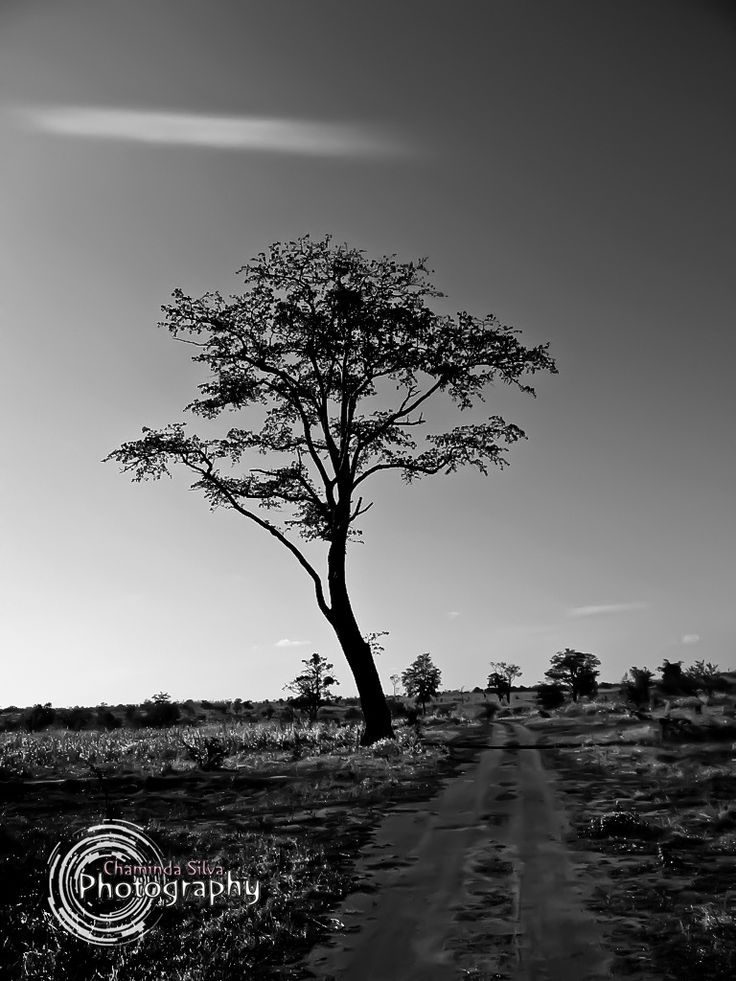 Lonely Tree by Chaminda Silva on 500px