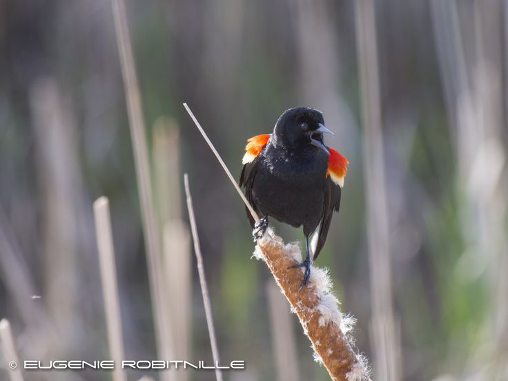 https://flic.kr/p/zkwXm3 | Do I look Happy to you? | Red-winged black bird