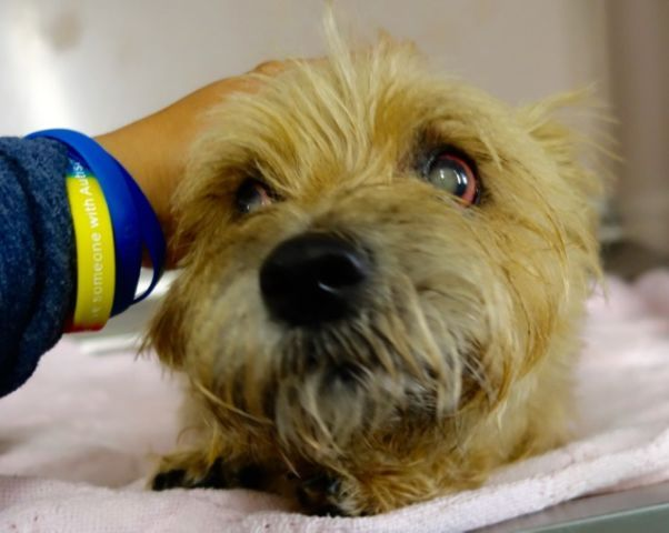 SUPER URGENT 08/17/16 SPARKY – A1085821-STRAY-10 yrs old-  NEUTERED MALE, TAN, CAIRN TERRIER,  STRAY  08/17/2016, From NYhttp://nycdogs.urgentpodr.org/sparky-a1085821/