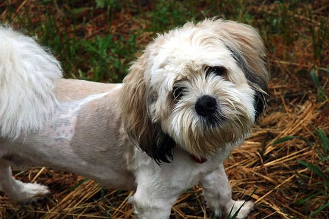 10 Things to Know Before You Adopt a Shih Tzu Poodle Mix