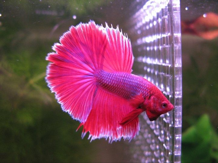 117 best images about betta fish on pinterest auction for Cute betta fish