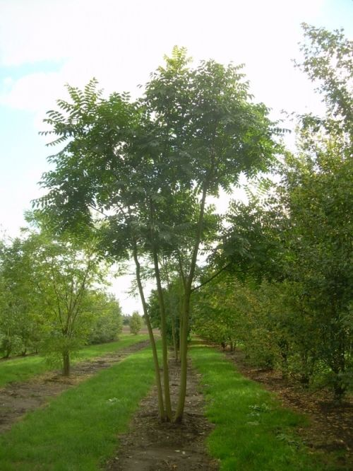 Ailanthus altissima #tree #multitrunk #multistem www.vdberk.co.uk