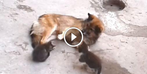 """AnimalBuzz.fr sur Twitter : """"#TropMignon Une maman chat présente ses bébés à son…"""