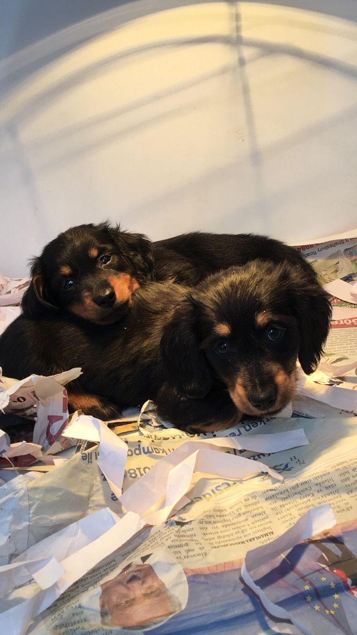 Mini long hair dachshund puppies! http://ift.tt/2ooxI5w