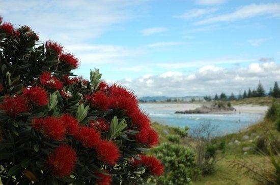 The glorious Pohutukawa out along the Mount walkway