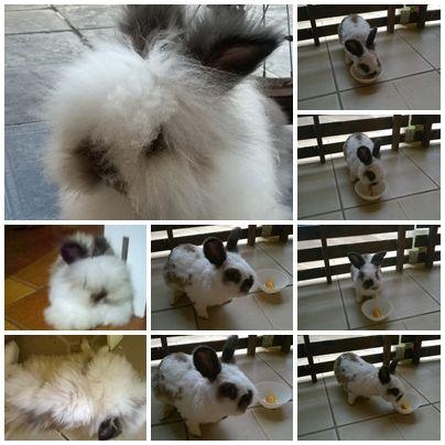 KASHMIR, meu mini coelho da raça Lion Head (Cabeça de Leão), Minha coisa querida.