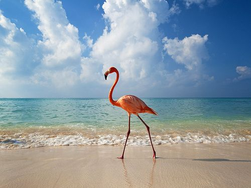 Bayahibe, Dominican Republic - Flamingo walking along beach
