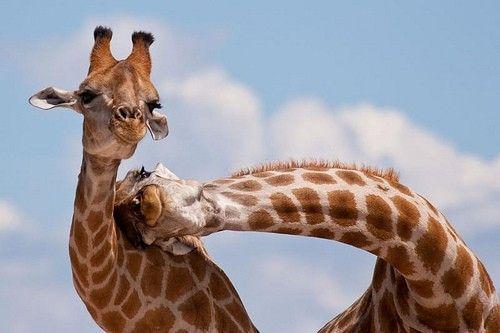 lean on me: Animals, Sweet, Friends, Cutenes, Adorable, Things, Smile, Photo, Giraffes