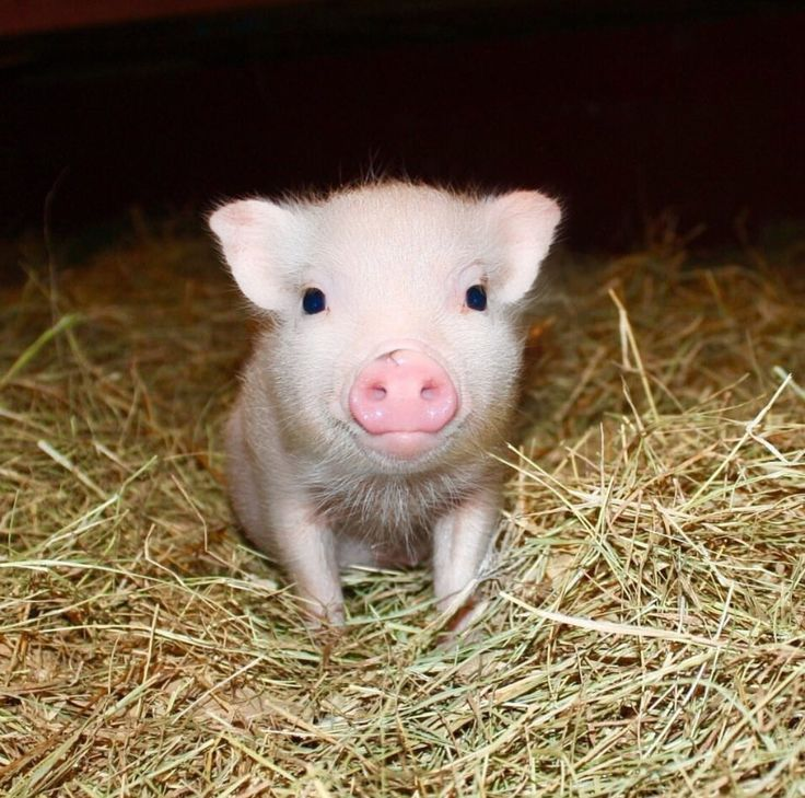 Isn't this face just the cutest?! At Mini Pig World, we