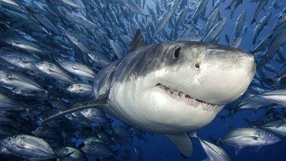 Köpek Balığı #wallpaper #balık #deniz #shark
