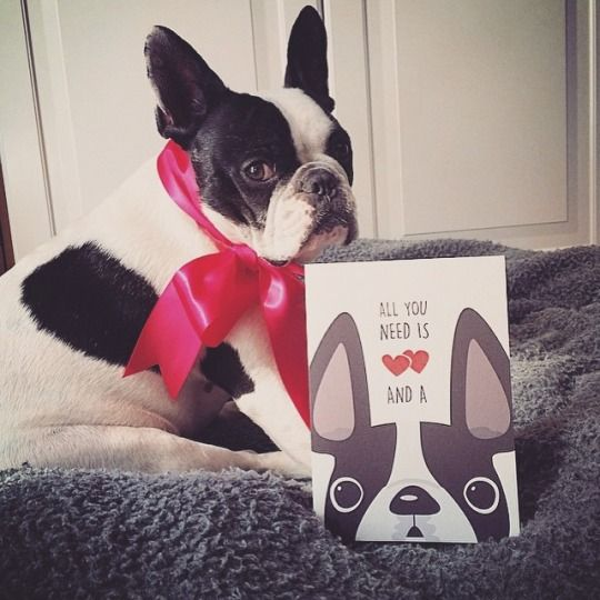oh romeo. French Bulldog for Valentines Day.