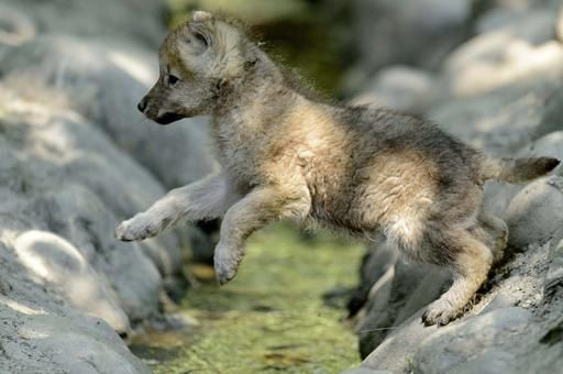 A 2-month-old arctic wolf cub jumps in a zoo in Servion, Switzerland. Arctic wolves are also known as polar wolves.