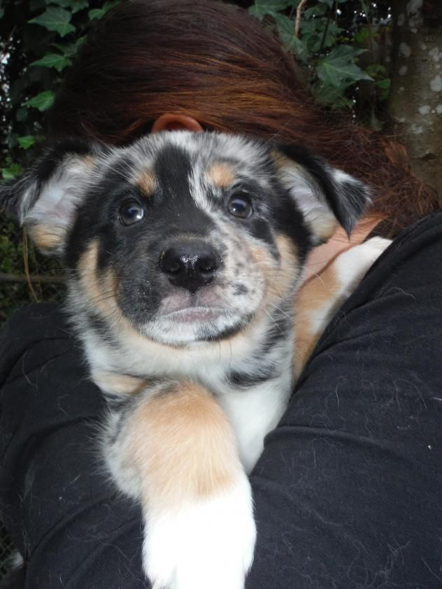 Lila is a female Australian Shepherd mix puppy who us available at Three Rivers Rescue, Snoqualmie,WA.