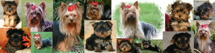 Sunrise Yorkshire Terrier Puppies for sale from Indiana Yorkie dog breeder