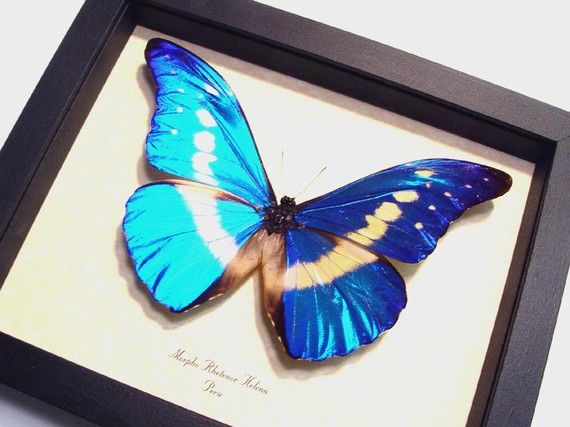 Real Framed Butterfly Display Blue Morpho Helena 907