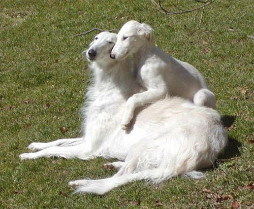 <b>AKA Russian Wolfhounds AKA simultaneously the most badass and most hilarious dog breed ever wrapped up into one super weird shape.</b>