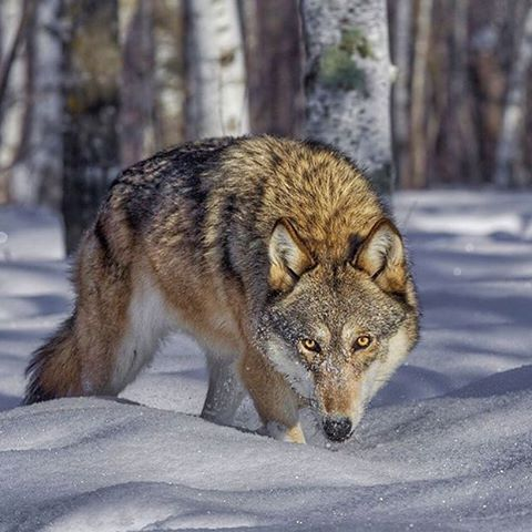 Timber Wolf | Photo by @cjm_photography  #wildlives