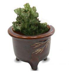 Euphorbia Lactea Green Rp 50,000