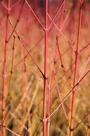cornus sanguinea winter beauty - Google Search