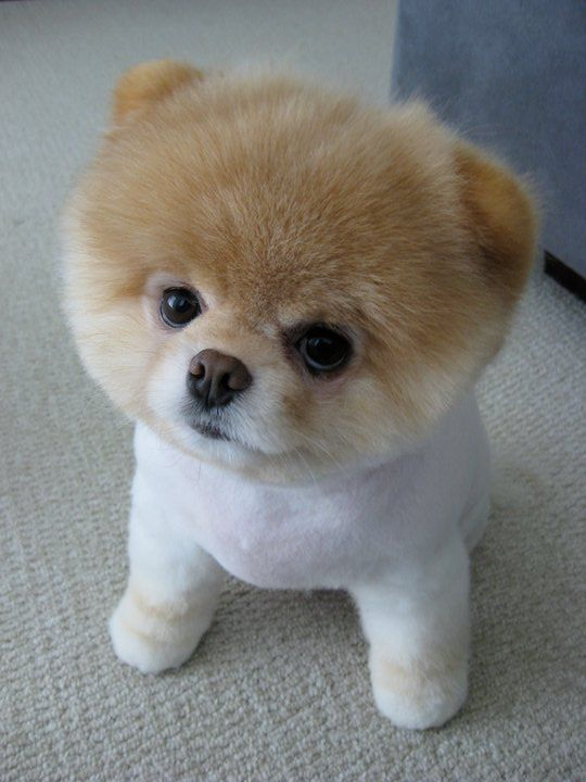 """""""World's Cutest Dog,"""" Boo. The 6-year-old pomeranian has a one-of-a-kind hairdo, a book deal, nearly 5 million Facebook fans and even a plush look-alike.- Bing Images"""