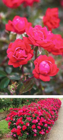 Knock out roses are easy to grow and super Hardy.   I need some!
