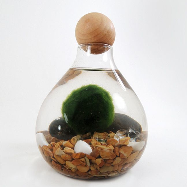 Marimo in the Cozy Home